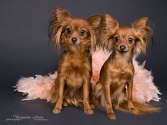 Russian Toy Terrier / Russkiy Toy / Русский той #Puppy #Dog