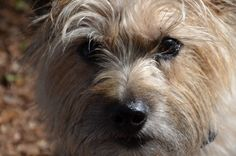 Rusty, my cute Cairn Terrier.