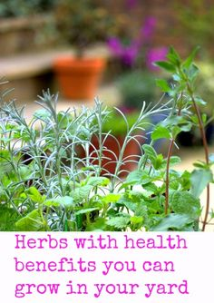 Herbs with Health Benefits That You Can Grow Yourself in Your Own Yard