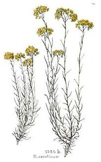 Flore endémique de l'île Immortelles de corse