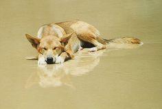 """*Dingo* of Fraser Island, Australia"" ---- [Photo by RandolphScott (Simon Brislin) - August 21 West Australia, Fraser Island Australia, Australia Animals, Queensland Australia, Australia Travel, Sand Island, Wild Dogs, Roadtrip, Australian Cattle Dog"