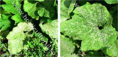 insecte, boli, daunatori ...Atac de fainare (Sphaerotheca fuliginea) la dovlecel