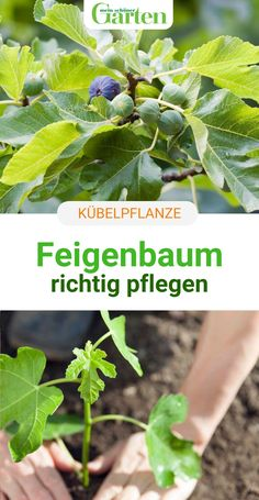 Gardening For Beginners, Gardening Tips, Urban Gardening, Garden Art, Home And Garden, Evergreen Vines, Heat Treating, Life Quotes To Live By, Fig Tree