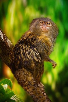 Pygmy Marmoset.  World's smallest monkey found in Amazon    #nature #science #monkey