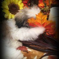 Our Stunning Lana! She is Gorgeous! Come Meet Her at http://www.ashihtzu4u.com/our-shih-tzus/mommies/lana