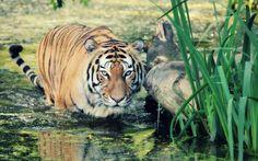 Wild Tiger HD Wallpaper