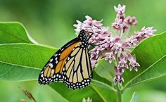 As More Monarchs Disappear, Conservationists Step in to Save Them From Extinction | Please also sign and share the petition showing your support for protecting monarch butterflies under the Endangered Species Act.  Read more: http://www.care2.com/causes/as-more-monarchs-disappear-conservationists-step-in-to-save-them-from-extinction.html#ixzz3wgl8dWiy