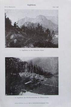 LEGFÖHREN Latsche Kiefer 1916 Botanik Alter Druck Antique Print Lithographie