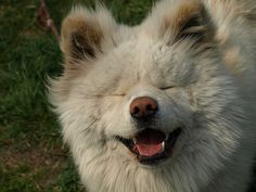 Japanese site of Wasao, the legendary long-haired Akita -- #suki all WHITE!