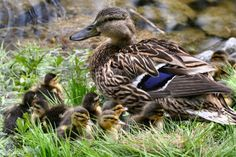 Google Image Result for http://10000birds.com/wp-content/uploads/2007/12/mallard-mother-and-young.jpg