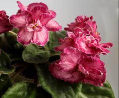 African Violet *SASSY SADIE* starter plant – Light Maroon Standard