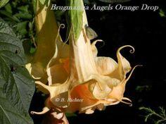 Angels Orange Drop Angel's Trumpet Brugmansia DBG