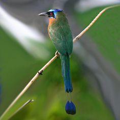 Ave nacional de El Salvador, Torogoz. I loved seeing these beautiful birds!