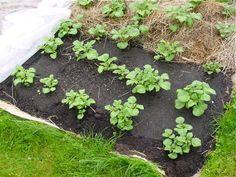 Pommes de terre sous carton, paillis et compost