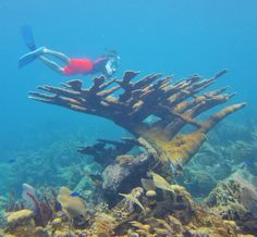 Student from 2012 Belize course at Warner College of Natural Resources swims over a rare Elkhorn Coral Colony.