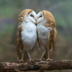Beautiful Birds, Animals Beautiful, Cute Animals, Pretty Birds, Owl Photos, Nature Photos, Information About Cats, Barred Owl, Cute Owl