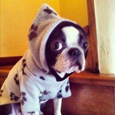Boston Terrior.. I want Too Cute