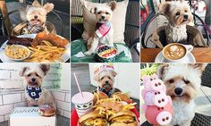 He can't eat all that! Tiny dog wearing bib next to mountains of food