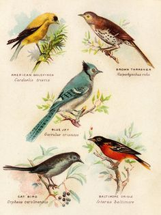 Birds, vintage image: American Goldfinch, Brown Thrasher, Blue Jay, Baltimore Oriole, Cat Bird.