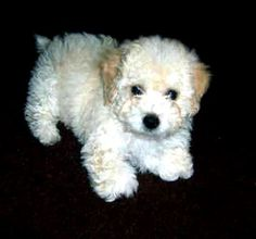 White Toy Poodle Puppies Photo - Happy Dog Heaven
