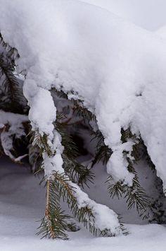 Snow on Evergreen Branch