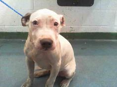 GONE --- MARK (A1675537) I am a male white and blue Pit Bull Terrier mix. The shelter staff think I am about 4 months old. I was found as a stray and I may be available for adoption on 01/27/2015. — hier: Miami Dade County Animal Services. https://www.facebook.com/urgentdogsofmiami/photos/a.893700100664394.1073742042.191859757515102/917597168274687/?type=3&theater