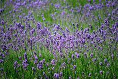 lavendel - altijd schoon