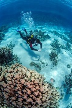 High angle view of a scuba diver diving in shallow water close to coral reef, Ras Mohammed National Park, Red Sea, Egypt, North Africa, Africa
