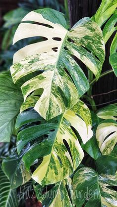 Unusual Plants, Rare Plants, House Plants Decor, Plant Decor, Monstera Leaves, Plant Leaves, Variegated Plants, House Plant Care, Foliage Plants