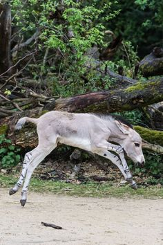 Zoo Basel Welcomes a Critically Endangered Somali Wild Ass. Such a cute and happy animal.