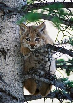 Cute lynx kitten in a tree! Got to read this success story on how the lynx returned to its native range within the state of Colorado. | Outdoor Channel