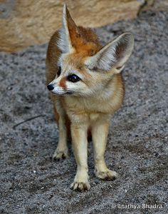 Fennec Fox by utathya bhadra on 500px
