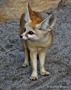 Fennec Fox by utathya bhadra on 500px