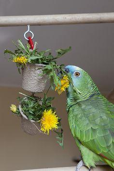 Foraging with dandelions – Anima Care Diy Parrot Toys, Diy Bird Toys, Diy Toys, Bird Aviary, Budgies, Parrots, Cockatiel Toys, Conure, Bird Food
