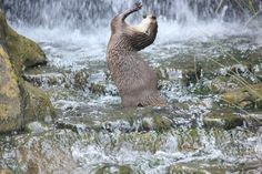 Otter dances in a waterfall - December 2012 😊🌞 Animals Of The World, Animals And Pets, Baby Animals, Cute Animals, River Otter, Sea Otter, Love Pictures, Funny Pictures, Funny Pics