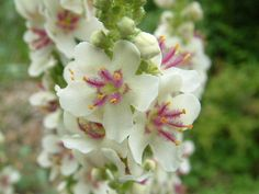 Verbascum chaixii 'Wedding Candles'