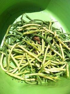 This Morning's Bean Harvest