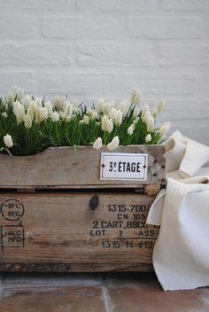 White Muscari in crate