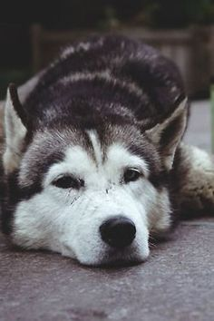Wonderful All About The Siberian Husky Ideas. Prodigious All About The Siberian Husky Ideas. Wolf Husky, Siberian Husky Puppies, Siberian Huskies, Husky Puppy, Cute Puppies, Cute Dogs, Dogs And Puppies, Doggies, Corgi Puppies
