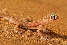 Cómo los geckos regeneran su cola y médula espinal