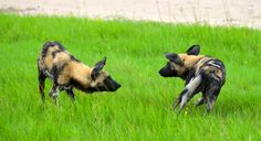 A game of painted wild dog chase begins! #africa #safari #wild #dog #pack
