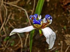 Wild orchids abound in the flower-choked jungles around Akaka Falls State Park, Hamakua Coast, Hawaii: Photo by Donald B. MacGowan