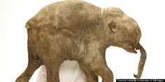 Baby mammoth mummy is researched