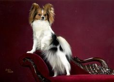 Papillions the best dog breed ever!