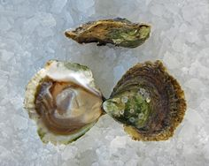 Maine Belon Oysters From: Damariscotta, Maine Why they're delicious: Its technical name is the European flat oyster and was originally planted in Maine in the '50s by sex-crazed scientists hoping to repopulate the region's oyster beds. Decades later, they started to flourish. Harvested by divers, they give off a gutsy, strong flavor up front with a metallic-tinny finish. Have a sudsy beer nearby to wash these down -- these oysters don't play well with delicate wines.