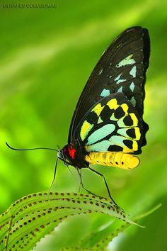 Cape York Birdwing (Ornithoptera priamus)