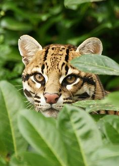 I can see you..  an ocelot