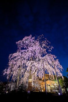Sakura tree in Toji Temple in Kyoto  京都 東寺の夜間拝観。
