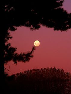 The Moon through the pines in a pink sunset sky. Moon Shadow, Moon Photos, Moon Pictures, Sun Moon, Stars And Moon, Moon Dance, Shoot The Moon, Good Night Moon, Moon Magic