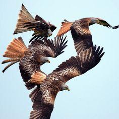 Red kites, bird of prey